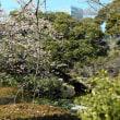 D850+SIGMA 50mm f1.4 DG HSM Art 新宿御苑 寒桜