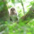 こちらを見て、丸い目を見せてくれたフクロウの幼鳥。