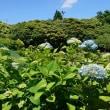 三重県民の森の紫陽花