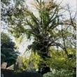 半分、茶色のイチョウの木