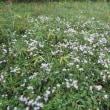 野菊、よめな が咲いている。 兵庫県立三木山森林公園