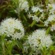 山麓に咲きほこる白い花
