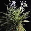 富貴蘭「月桂冠」の花