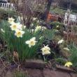 春を告げる水仙
