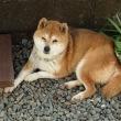春の陽だまりにお昼寝する柴犬