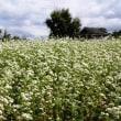 圧巻の蕎麦畑