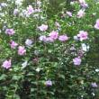 ムクゲの花!