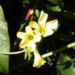 黄色のカタバミとボケの花