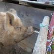 小田原で田んぼと豚と富士山に癒される