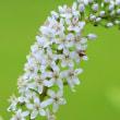 白い花が多数集まっているトラノオの花