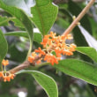 楽書き雑記「名古屋市農業センターで、今秋初のキンモクセイの香りをかいできました」