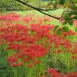 紅い花なら曼珠沙華!<エッセイ風>