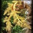 今年も棕櫚の花が