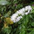 日影沢の花 2