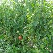 夏至・トマトの収穫はじまる