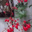 山茱萸の実