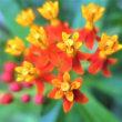 『タマスダレ』今朝も開花◇お祝い花としても『ピンクッション』◇元気な花々◆
