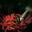 アゲハチョウとヒガンバナ 、小石川植物園
