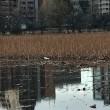 上野 不忍池 Ueno Shinobazunoike
