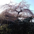 浦和 玉蔵院のシダレザクラ 咲き始め 2018