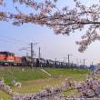 桜の花の向こうを行くDD51セメント列車