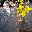 霜の朝(菫花に霜)