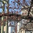 両国橋の桜