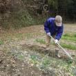 古い黒マルチを再利用し、ネギの苗を移植