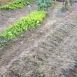 タマネギの苗を400本