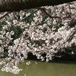 乱れ桜開花
