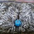 ワカサギ釣り情報 1850匹!