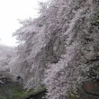 今年の善福寺川緑地の桜
