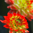 秋の薔薇と秋のダリア