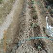 キャベツとブロッコリーを畑に植えました