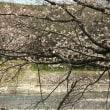 桜さくら 藤枝桜