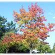 本格的な秋の到来(^^♪端正な樹形、秋の紅葉が美しく、その紅葉が始まった「アメリカ楓」