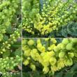 マホニア・チャリティーの花は