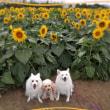 秋のひまわり畑(*´▽`*)♪キレー!