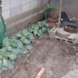 家庭菜園 平成30年2月19日(月)蘇った野菜達
