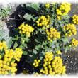 初冬の花(^^♪冬の殺風景なとき小さな黄色い花を房状に咲かせる姿が綺麗な「イソギク」
