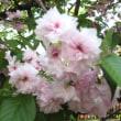 造幣局の桜♪