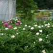 ●金沢大学 薬用植物園 シャクヤクの一般公開に行きました