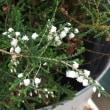 横延びエリカの花