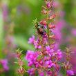 メガネ露草とヒラタアブ