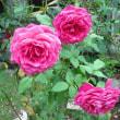 豪華です。バラのゲーテローズの花