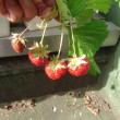 一季なりイチゴ  収穫 そろそろ終盤