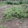 イチゴの苗を育てるにも、手間暇がかかります。