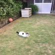 くーさん、庭の真ん中でくつろぐ