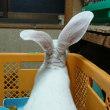 ウサギ  運びます