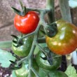 トマト達です